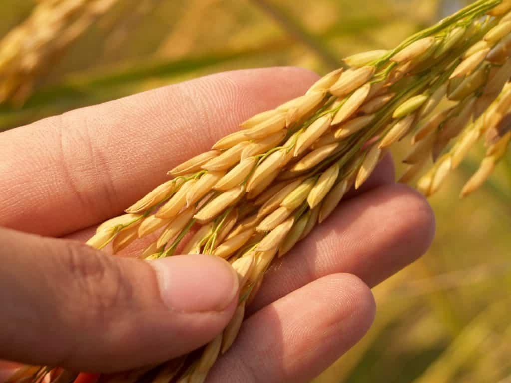 יד מחזיקה אורז